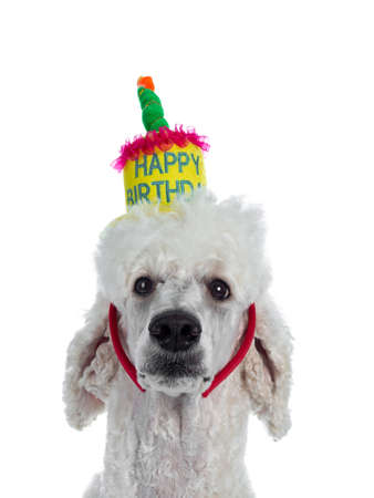 Portrait of cute white King Poodle wearing happy birthday diadem. Looking at camera. Isolated on white background.