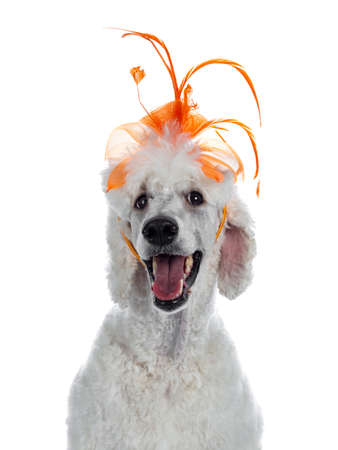 Portrait of cute white King Poodle wearing orange fancy hat diadem. Looking at camera. Isolated on white background.