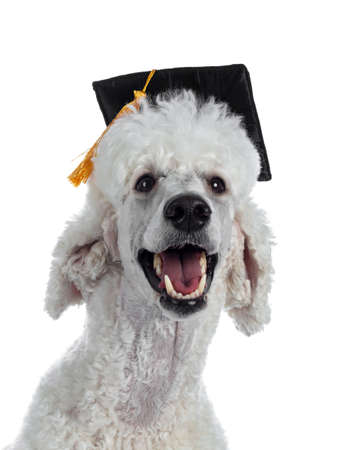 Portrait of cute white King Poodle wearing black graduation hat with orange tassel. Looking at camera. Isolated on white background.