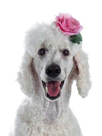 Portrait of cute white King Poodle wearing pink rose in hair. Looking at camera. Isolated on white background. Stockfoto