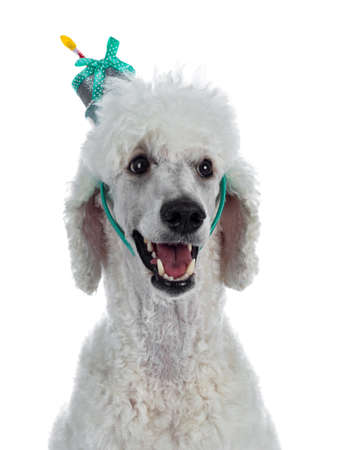 Portrait of cute white King Poodle wearing cake shaped diadem. Looking at camera. Isolated on white background.