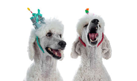 Portrait of two cute white King Poodle wearing cake shaped diadem. Looking at camera. Isolated on white background. Stock Photo