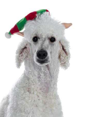 Portrait of cute white King Poodle wearing christmas elf hat. Looking at camera. Isolated on white background. Stockfoto