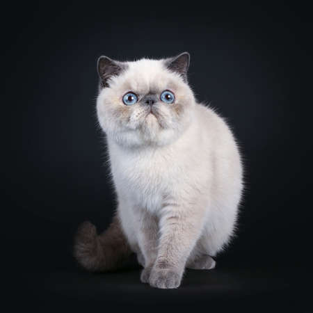 Cute blue tortie point Exotic Shorthair kitten, walking  standing towards lens. Looking beside lens with blue eyes. Isolated on black background.