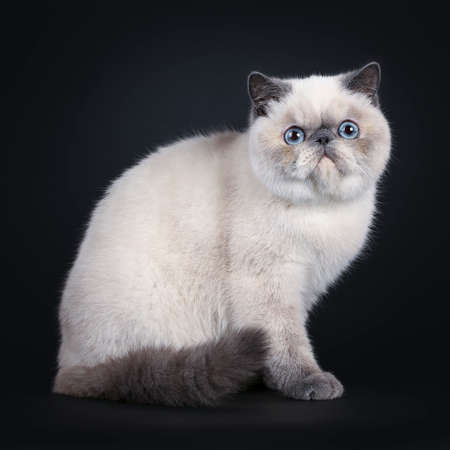 Cute blue tortie point Exotic Shorthair kitten, sitting side way. Looking straight at lens with blue eyes. Isolated on black background. Tail curled around body.