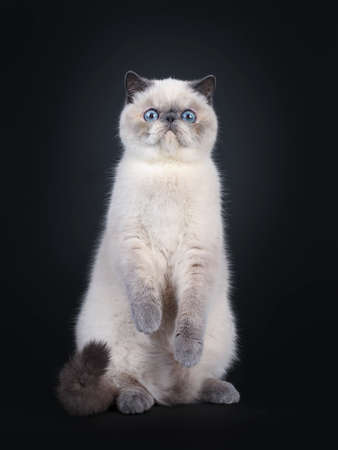 Cute blue tortie point Exotic Shorthair kitten, sitting on back paws. Looking at lens with blue eyes. Isolated on black background. Front paws in air like teddy bear. Stockfoto