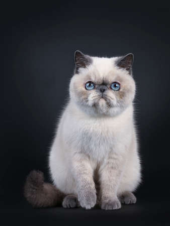 Cute blue tortie point Exotic Shorthair kitten, sitting up facing front. Looking directly at lens with blue eyes. Isolated on black background. On paw lifted. Stockfoto