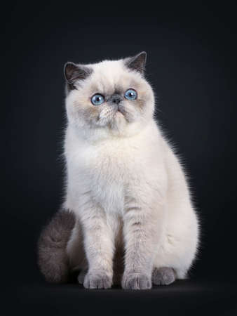Cute blue tortie point Exotic Shorthair kitten, sitting up facing front. Looking to the side with blue eyes. Isolated on black background.