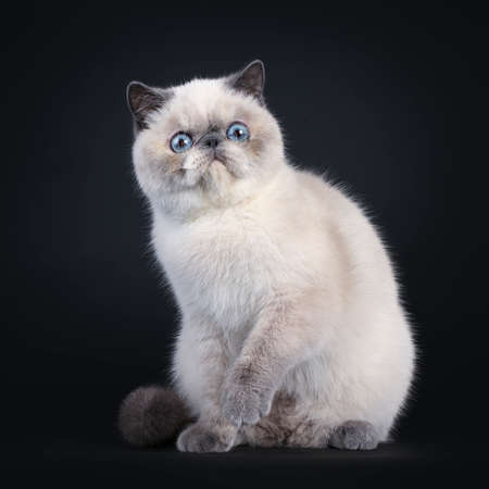 Cute blue tortie point Exotic Shorthair kitten, sitting side ways. Looking to the side with blue eyes. Isolated on black background. One paw in air.