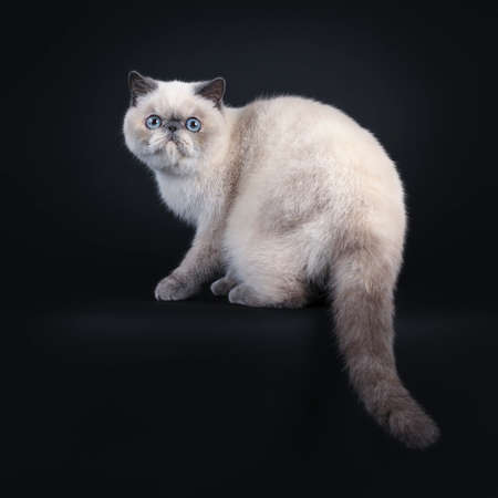 Cute blue tortie point Exotic Shorthair kitten, sitting side ways  backwards. Looking at lens with blue eyes. Isolated on black background. Tail hanging down from edge. Stockfoto