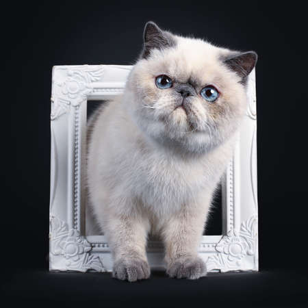 Cute blue tortie point Exotic Shorthair kitten, tapping  standing through white photo frame. Looking to the side with blue eyes. Isolated on black background.