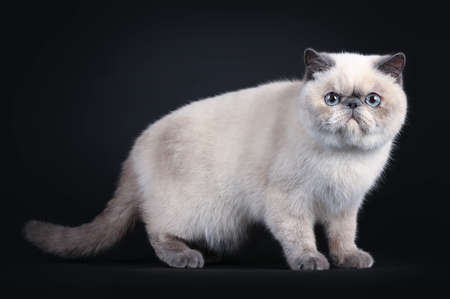 Cute blue tortie point Exotic Shorthair kitten, standing side ways. Looking to the lens with blue eyes. Isolated on black background. Stockfoto