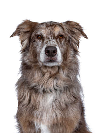 Head shot of gorgeous adult brown Australian Shephard dog. Looking majectic to lens with brown eyes. Isolated on white background.