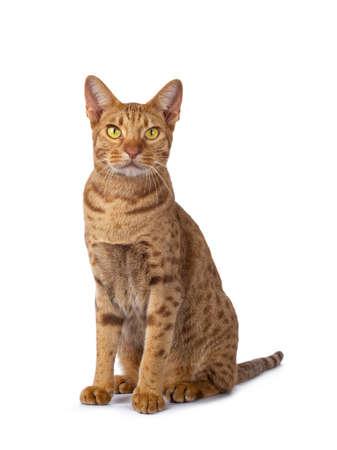 Hübscher männlicher Ocicat, der halb seitlich nach vorne sitzt. Mit leuchtend gelben Augen neben der Kamera suchen. isoliert auf weißem Hintergrund.