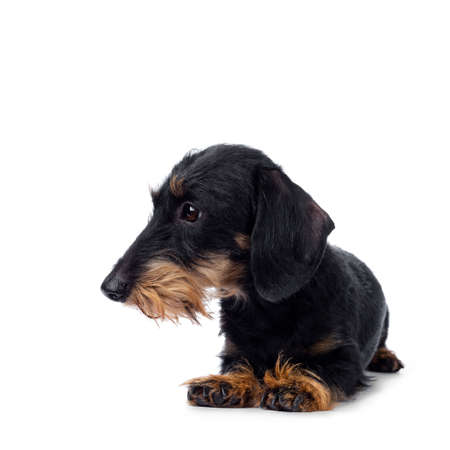 Cute adult black tan wirehaire Dachshund dog, laying down. Looking to the side with brown eyes. Isolated on white background. Stock Photo