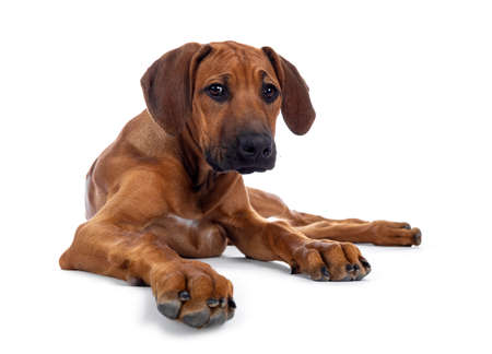 Cute wheaten Rhodesian Ridgeback puppy dog with dark muzzle, laying down facing front. Looking at camera with sweet brown eyes. Isolated on white background.