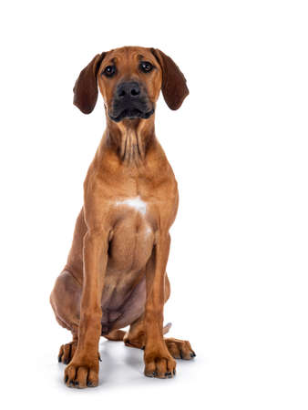 Cute wheaten Rhodesian Ridgeback puppy dog with dark muzzle, sitting up facing front. Looking at camera with sweet brown eyes. Isolated on white background.