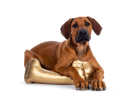 Cute wheaten Rhodesian Ridgeback puppy dog with dark muzzle, laying down side ways  facing front with  in golden basket Looking at camera with sweet brown eyes. Isolated on white background.