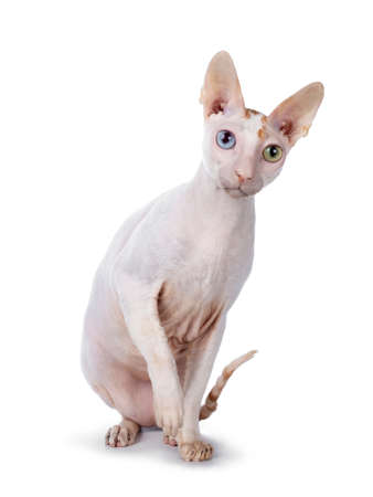 Cute Cornish Rex cat sitting side ways. Looking beside camera with blue / yellow odd eyes. isolated on white background. Paw playful in air.