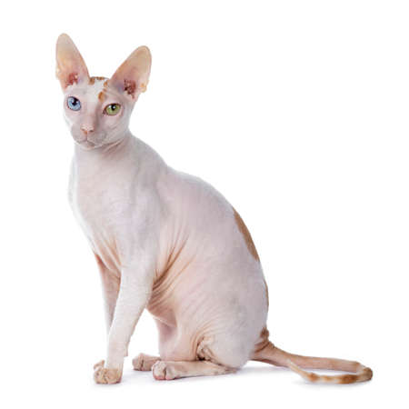 Cute Cornish Rex cat sitting side ways. Looking at camera with blue / yellow odd eyes. isolated on white background. Tail behond body.