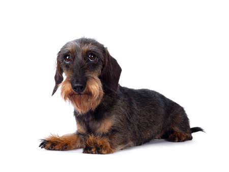 Sweet senior boar mini wirehair Dachshund dog, laying down side ways. Looking towards lens. isolated on white background. Banco de Imagens