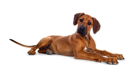 Cute wheaten Rhodesian Ridgeback puppy dog with dark muzzle, laying down side ways facing front. Head up and looking at camera with sweet brown eyes. Isolated on white background. Stock Photo