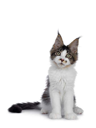 Cute black tabby with white Maine Coon cat kitten with adorable freggle on nose, sitting up facing front. Looking at lens with greenish eyes. Isolated on white background. Tail beside body.