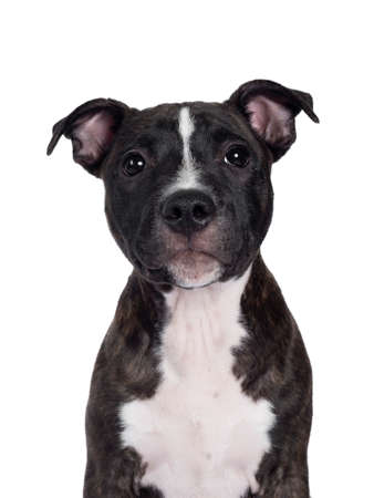 Head shot of sweet brindle English Staffordshire Terrier pup, sitting up facing front. Looking at camera with closed mouth. Isolated on white background.