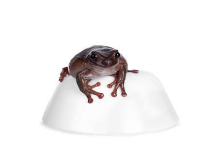 Cute brownish Australian green tree frog sitting on white bowl, looking to camera. Isolated on white background.