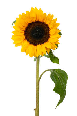 Close up front side of yellow blooming sunflower with long stem and leafs. Isolated on white background. Stock Photo