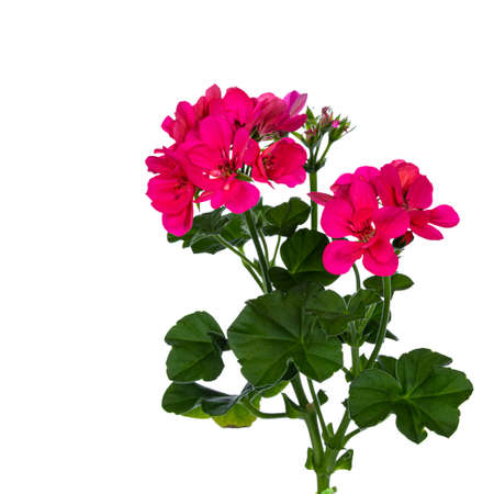 Bright pink blooming branch of Geranium flowers with leafs. Isolated on white background.