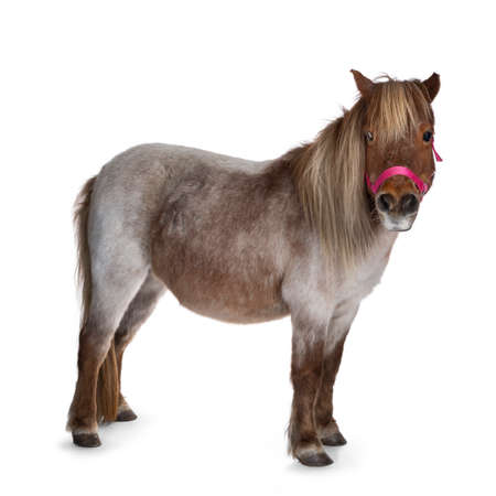 Brown with white Shetland pony, standing side ways looking at camera. Isolated on a white background. 版權商用圖片