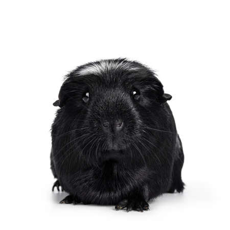 Portrait of black white crested Guinea pig, sitting facing front with head up. Looking very sweet at camera. Isolated on white background.