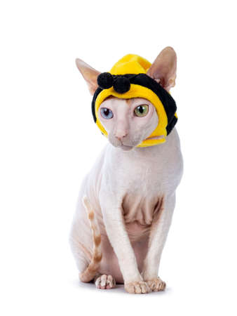 Funny portrait of odd eyed Cornish Rex cat, wearing bee mask. Sitting up and looking down beside camera. Isolated on white background..