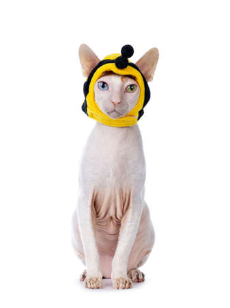 Funny portrait of odd eyed Cornish Rex cat, wearing bee mask. Sitting up and looking towards camera. Isolated on white background..