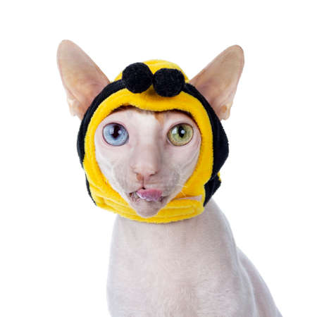 Funny head shot of odd eyed Cornish Rex cat, wearing bee mask. Sitting up and looking at camera. Isolated on white background.