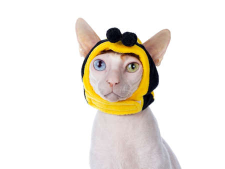 Funny head shot of odd eyed Cornish Rex cat, wearing bee mask and sticking out tongue. Sitting up and looking beside camera. Isolated on white background.