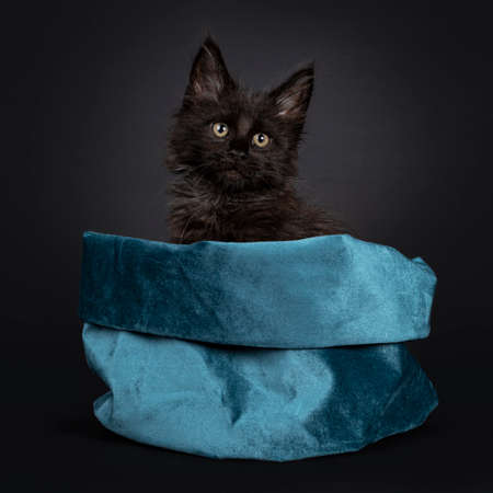 Fluffy solid black Maine Coon cat kitten, sitting in blue velvet bag. Looking beside camera. Isolated on black background.