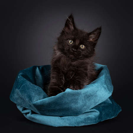 Fluffy solid black Maine Coon cat kitten, sitting in blue velvet bag. Looking at camera. Isolated on black background.