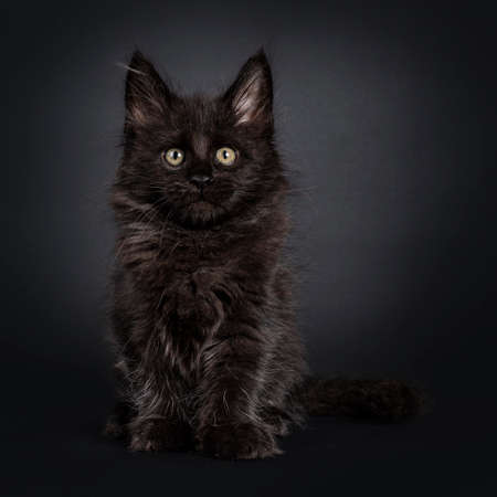 Fluffy solid black Maine Coon cat kitten, sitting facing front. Looking beside camera. Isolated on black background. Stockfoto
