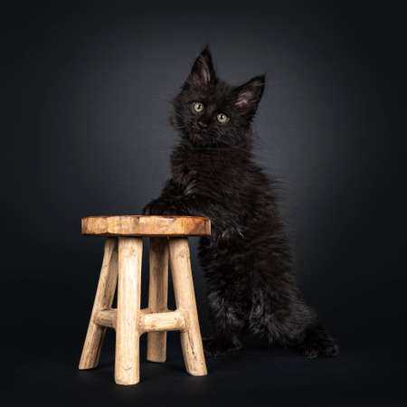 Fluffy solid black Maine Coon cat kitten, standing beside little wooden stool with front paws on surface stool. Looking beside camera. Isolated on black background.
