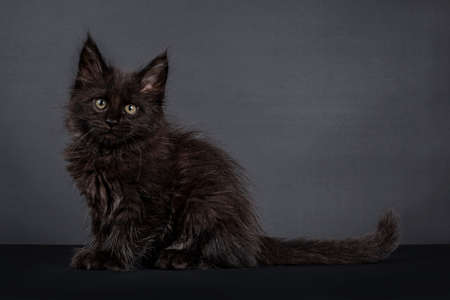 Fluffy solid black Maine Coon cat kitten, sitting side ways. Looking straight at camera. Isolated on black background. Stockfoto