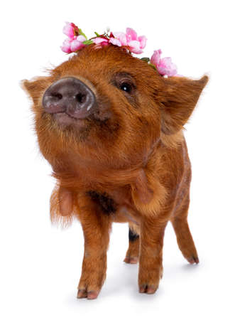 Cute Kunekune piglet, wearing pink flower wreath on head. Standing facing front with muzzle curious towards camera. isolated on white background.