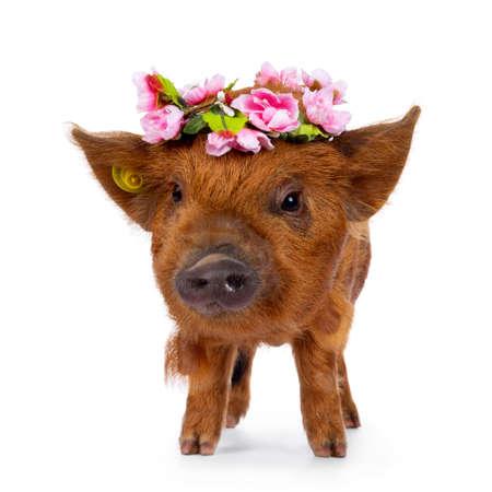 Cute Kunekune piglet, wearing pink flower wreath on head. Standing facing front looking beside camera. isolated on white background.