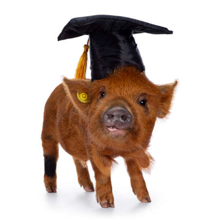 Cute Kunekune piglet, wearing black graduation hat with yellow tassel on head. Standing side ways, looking curious towards camera. isolated on white background.