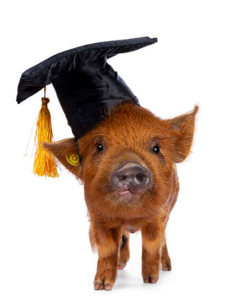 Cute Kunekune piglet, wearing black graduation hat with yellow tassel on head. Standing facing front, looking curious towards camera. isolated on white background.