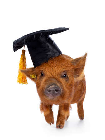 Cute Kunekune piglet, wearing black graduation hat with yellow tassel on head. Walking facing front, looking straight ahead towards camera. isolated on white background. Stockfoto