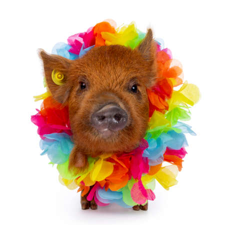 Cute Kunekune piglet, wearing colorful boa around neck. Standing facing front, looking curious towards camera. isolated on white background.