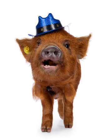 Cute Kunekune piglet, wearing blue glitter cowboy hat on head. Standing facing front, looking curious towards camera. isolated on white background. Mouth open showing teeth. Stockfoto