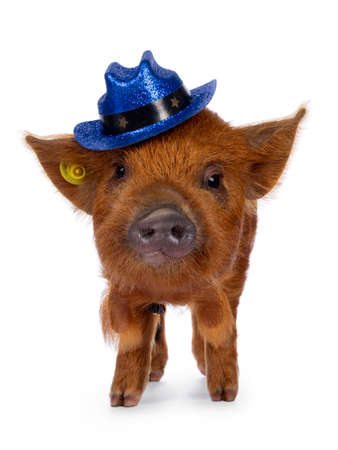 Cute Kunekune piglet, wearing blue glitter cowboy hat on head. Standing facing front, looking curious towards camera. isolated on white background. Stockfoto